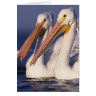American White Pelican, Pelecanus Cards