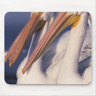American White Pelican, Pelecanus Mousepad