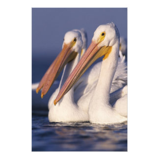 American White Pelican, Pelecanus Photograph