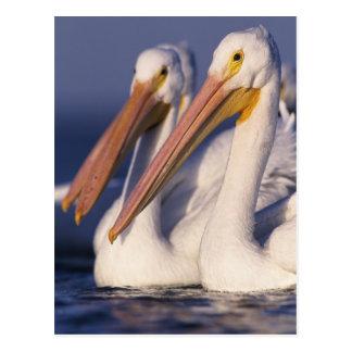 American White Pelican, Pelecanus Postcard