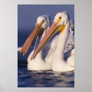 American White Pelican, Pelecanus Print