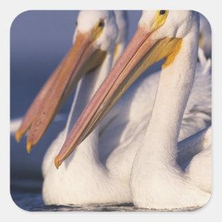American White Pelican, Pelecanus Square Sticker