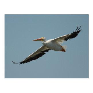 American White Pelican Postcard