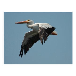 American White Pelican Postcard 2
