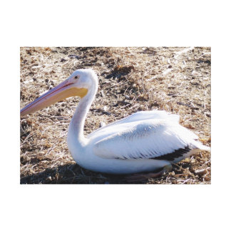 American White Pelican Stretched Canvas Prints
