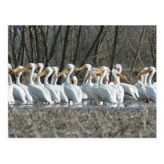 American White Pelicans Postcard.
