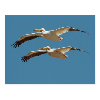 American White Pelicans Postcard 3