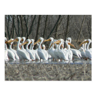 American White Pelicans Postcard. Postcard