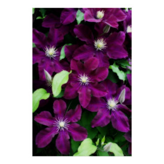 Amethyst Clematis Posters