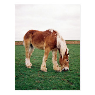 Amish Draft Horse in Field Postcard