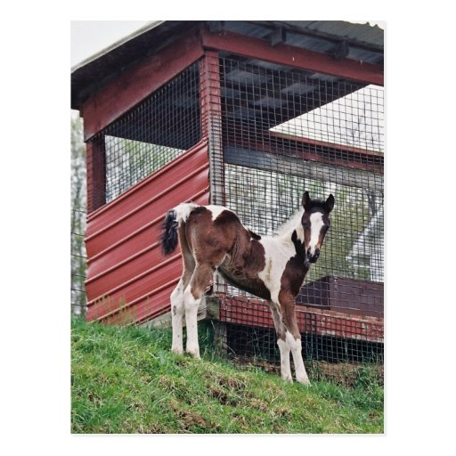 Amish Foal Post Cards