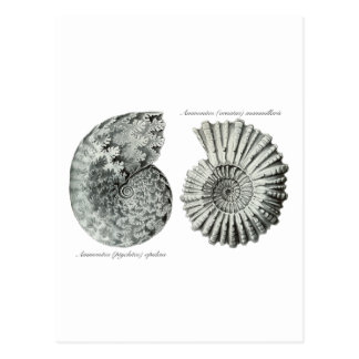 Ammonites Postcard