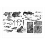 Amphibian Evolution Postcard