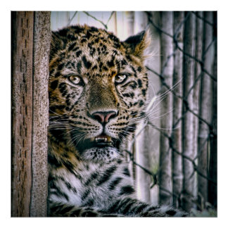 Amur Leopard Exotic Zoo Animal Poster
