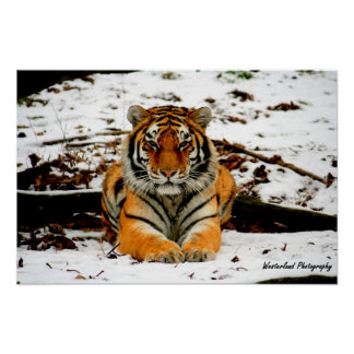 Amur Stare - Mara the Amur Tiger Poster
