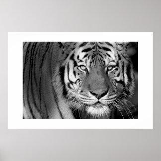 Amur Tiger #1 Print