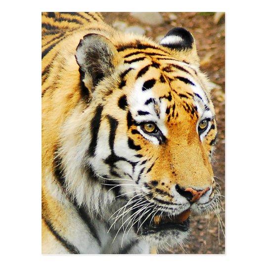 Amur Tiger Postcard