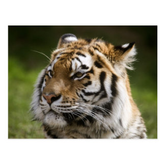 Amur Tiger Species Info Postcard