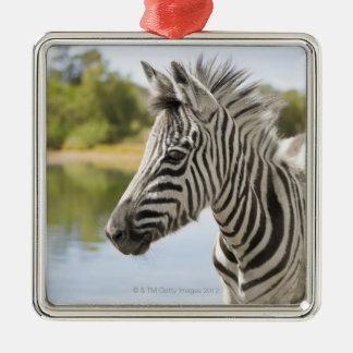 An adolescent mountain zebra (Equus zebra) Silver-Colored Square Decoration