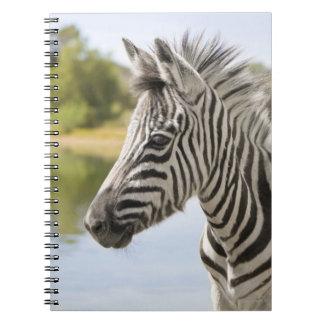 An adolescent mountain zebra (Equus zebra) Spiral Note Book