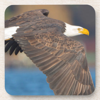 An adult Bald Eagle flies low over water Coaster