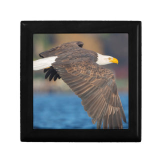 An adult Bald Eagle flies low over water Gift Box
