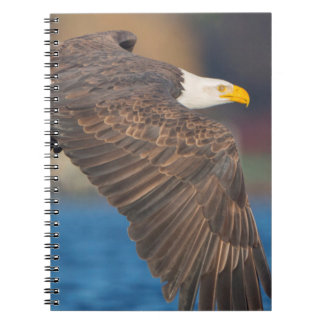 An adult Bald Eagle flies low over water Notebooks