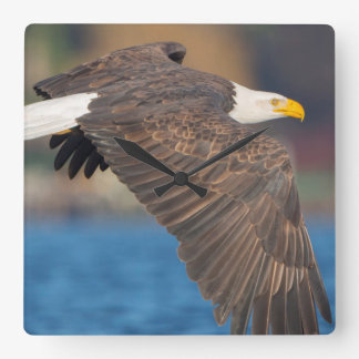 An adult Bald Eagle flies low over water Square Wall Clock