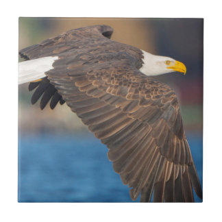 An adult Bald Eagle flies low over water Tile