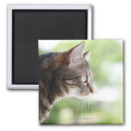 An adult tabby cat staring out of a window square magnet
