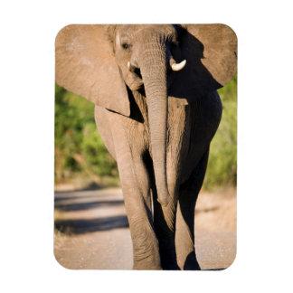 An African Elephant (Loxodonta Africana) Walks Vinyl Magnet