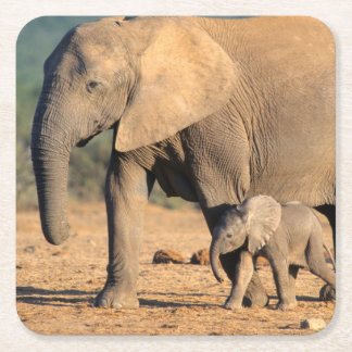An African Elephant mother and calf on the move Square Paper Coaster