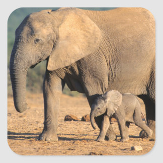 An African Elephant mother and calf on the move Stickers