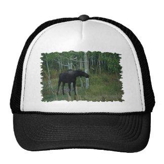 an Alaskan Moose walks around in an Aspen Forest Cap