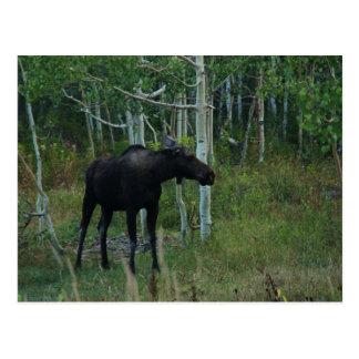 an Alaskan Moose walks around in an Aspen Forest Postcard