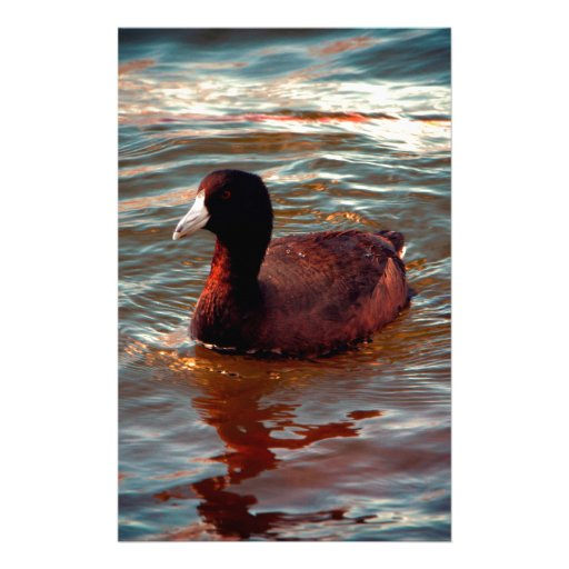 An American Coot Custom Stationery
