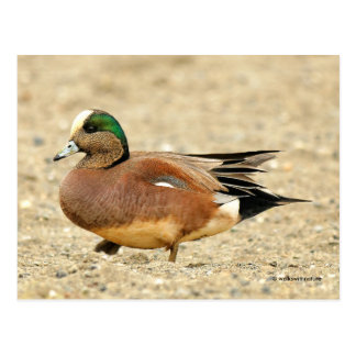 An American Wigeon on the Beach Postcard
