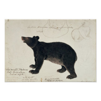"An Asiatic Black Bear, ""Ursus Tibetanus"" Poster"