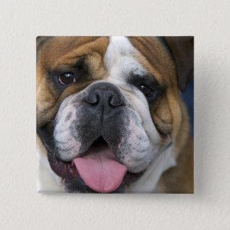An english bulldog in Belgium. 15 Cm Square Badge
