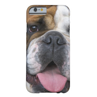 An english bulldog in Belgium Barely There iPhone 6 Case