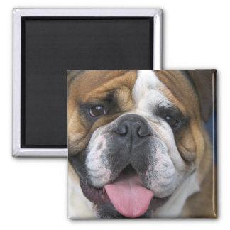 An english bulldog in Belgium. Square Magnet