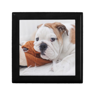 An English Bulldog Puppy Playing With A Bulldog Gift Box