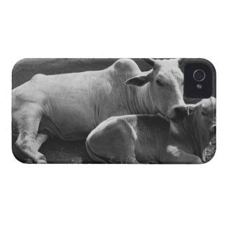 An Indian cow and its calf  lying in a farmyard iPhone 4 Cases