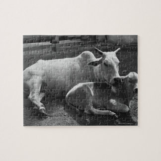 An Indian cow and its calf  lying in a farmyard Jigsaw Puzzle