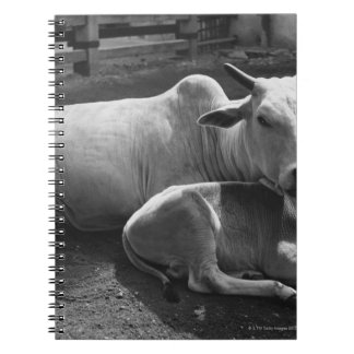 An Indian cow and its calf  lying in a farmyard Notebook