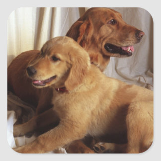 An older Golden Retriever and a puppy against Square Sticker