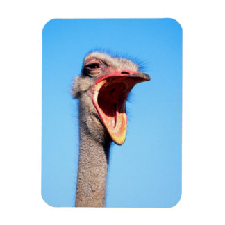An Ostrich showing aggression Magnet