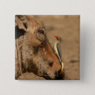An Oxpecker on a warthogs snout, Isimangaliso, 15 Cm Square Badge
