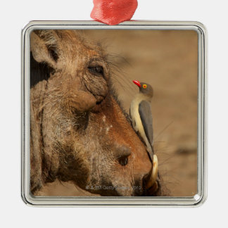 An Oxpecker on a warthogs snout, Isimangaliso, Christmas Ornament