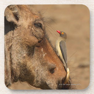 An Oxpecker on a warthogs snout, Isimangaliso, Drink Coasters